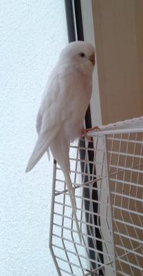 weiße Henne am Käfig