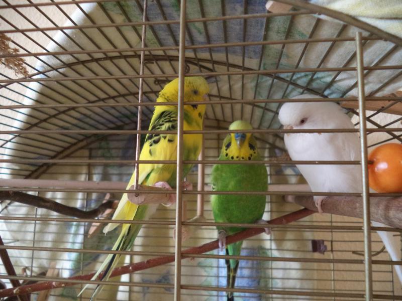 drei Wellis im Käfig sitzend