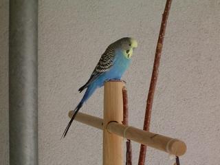 Welli-Hahn Bubi blaues Gelbgesicht