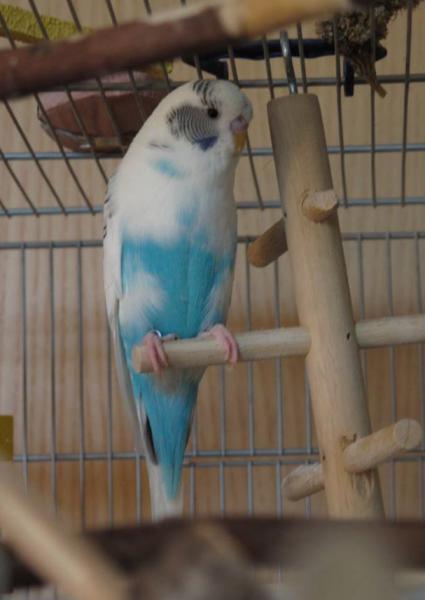 blauer Schecke Henne