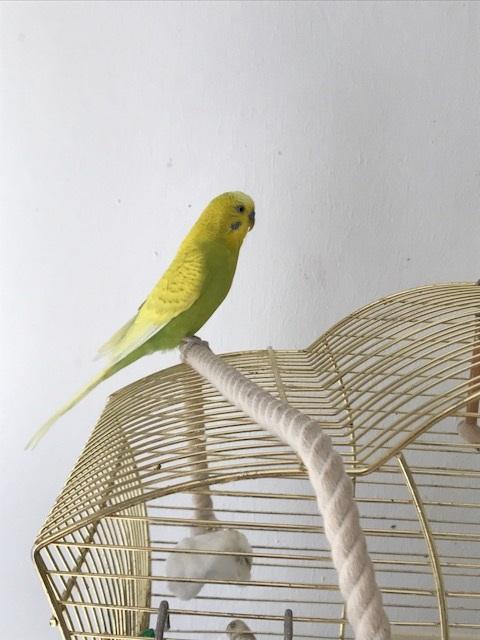 gelb-grüner Welli-Hahn