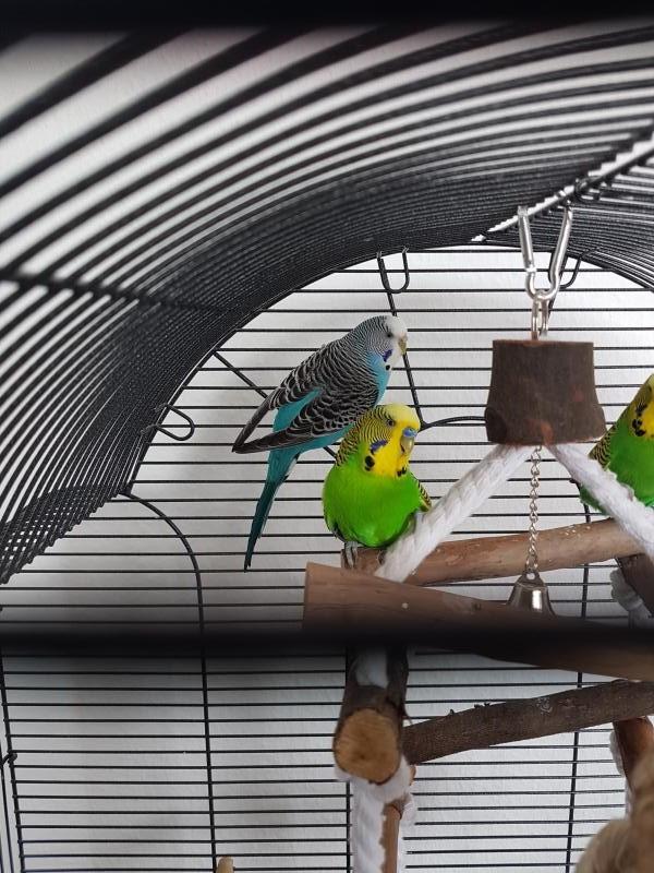 grüner Hahn blaue Henne im Käfig