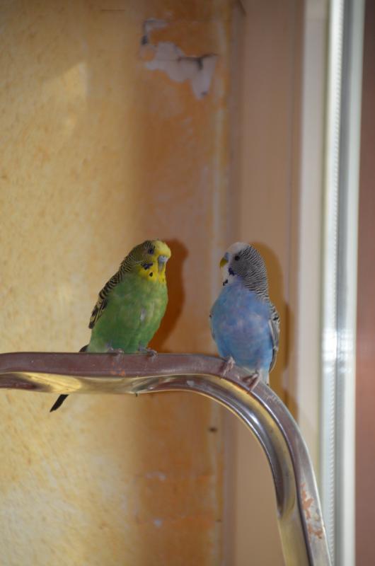blauer und grüner Welli
