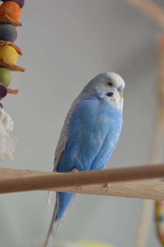 blauer Welli-Hahn auf Stange sitzend