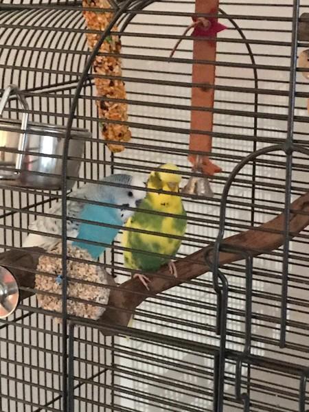 zwei Wellis im Käfig