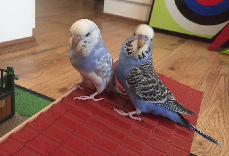 junges Wellipärchen beide blau-gefiedert