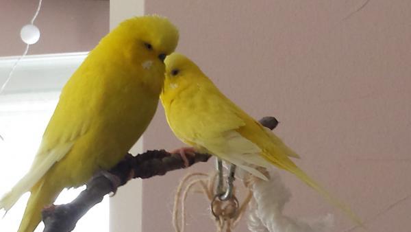 Ermsleben 2 gelbe Wellis