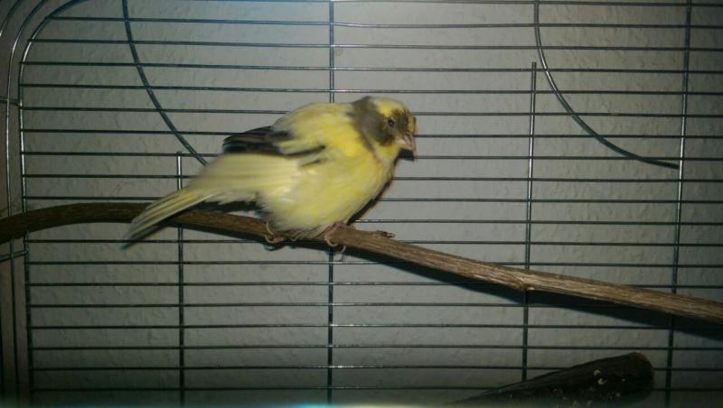 gelb-schwarzer Kanarienvogel auf Ast