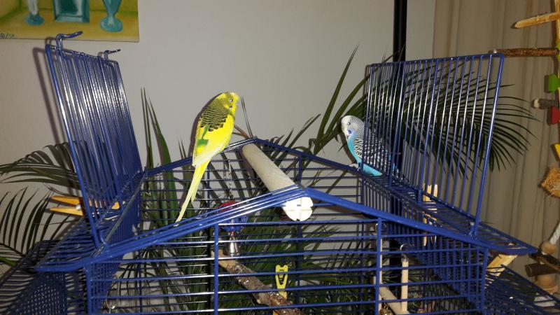 zwei Wellis auf blauem Käfig