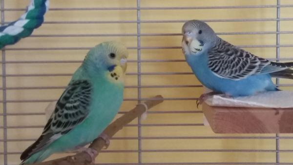 Lilly und Findus zwei Wellis im Käfig