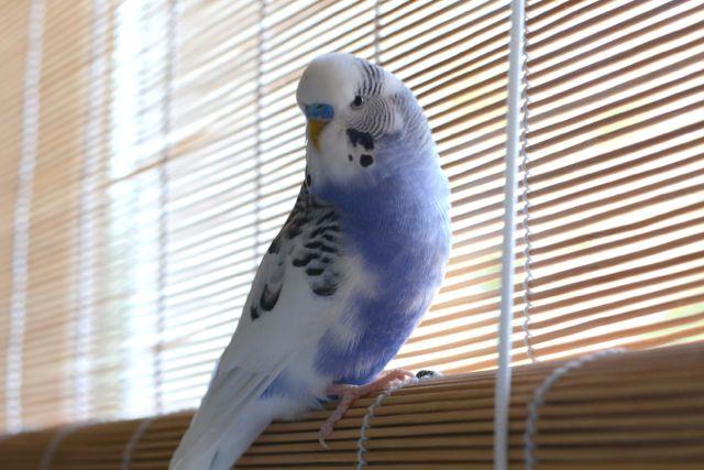 blau-weißer Schecke auf Rollo