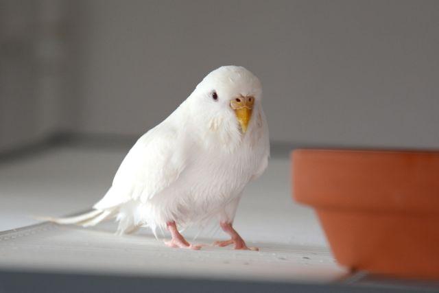 weiße Welli-Henne nach Bad