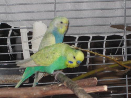 Wellipaar grün und blaues Gelbgesicht