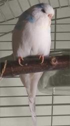weiße Welli-Henne Calypso
