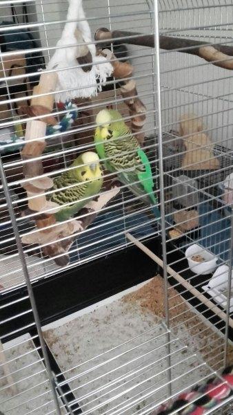 zwei grüne Welli-Hähne im Käfig