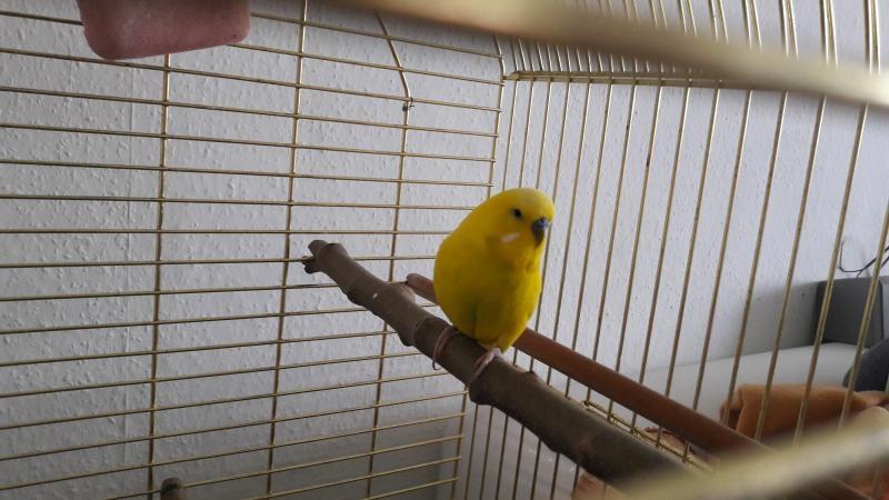 gelber Welli-Hahn mi goldenen Käfig
