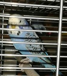 Neukölln blaue Henne