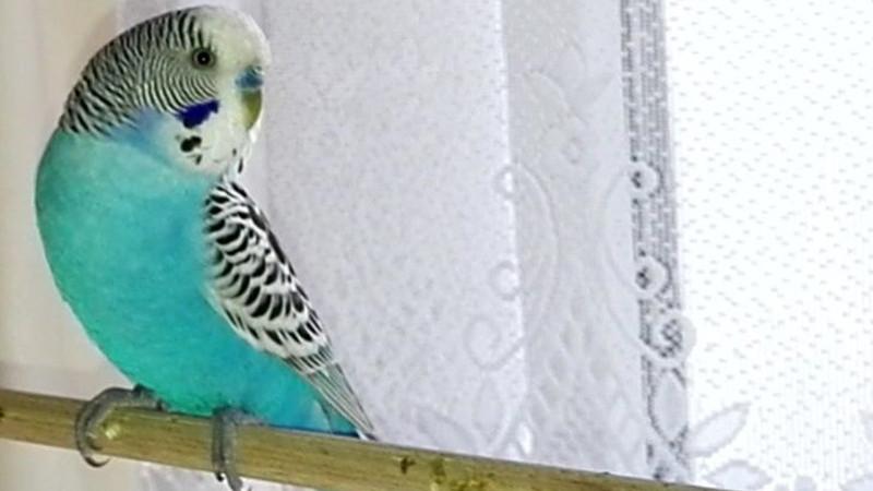 Fundvogel Jacki - blauer Hahn