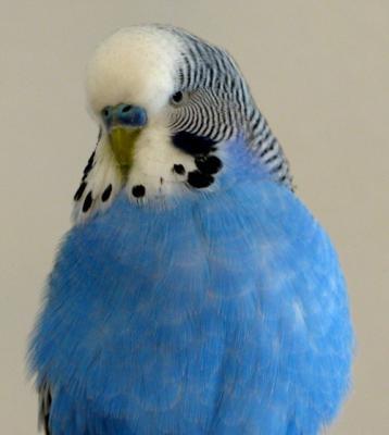 blauer Welli-Hahn