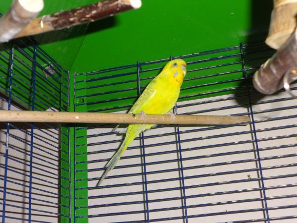 gelbe Wellensittich-Henne im Käfig auf Ast