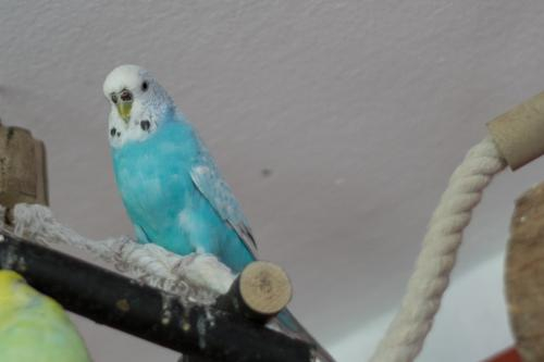 die blaue Lilli