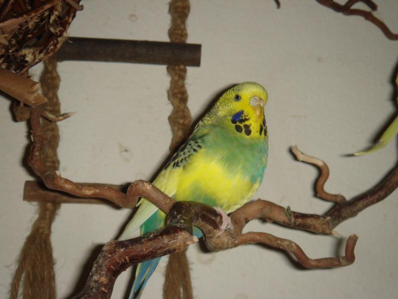 gelb-grüne Wellensittich-Henne Standard