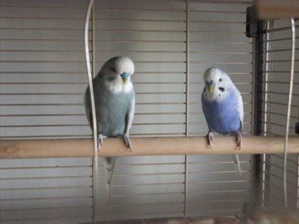2 Welli Hähne im Käfig