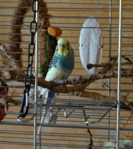 Wellensittich im Vogelkäfig Käfigeinrichtung