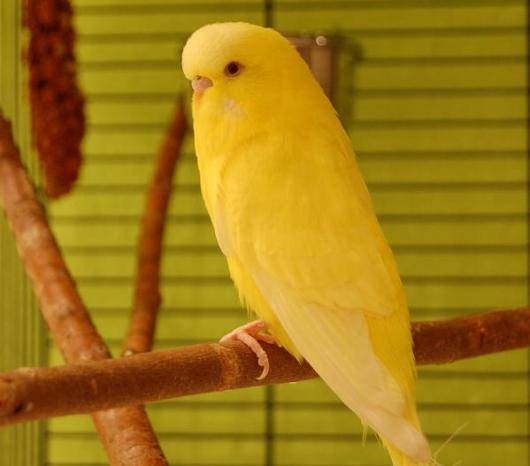 Wellensittich gelb