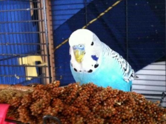 blauer Hahn sucht Zuhause