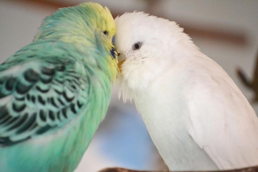 Niko und Snow Schnäbel berühren sich