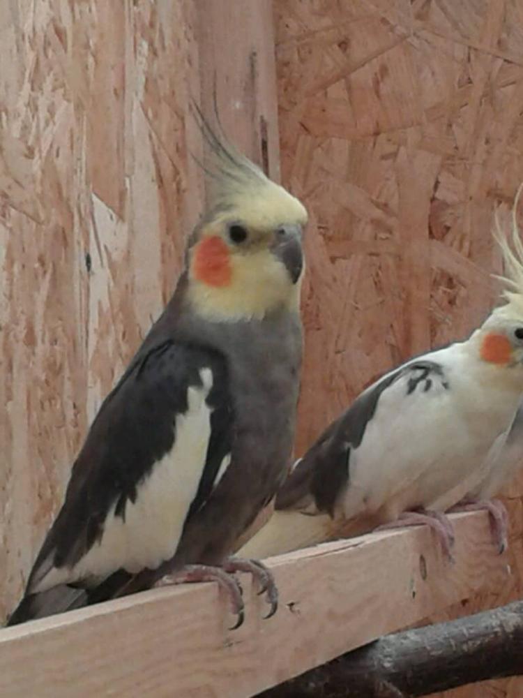 wildfarbener Nymphensittich-Hahn gescheckte Nymphensittich-Henne sitzen auf Ast
