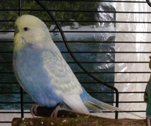 blauer Wellensittich mit gelbem Kopf und weißen Flügeln Hahn