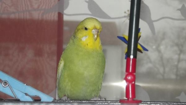 olivgrüne Wellensittich-Henne weisse Wangenflecke
