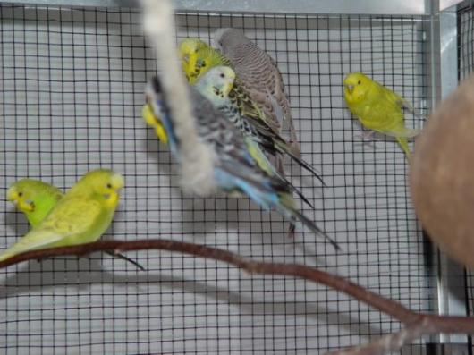 Wellensittiche auf Seil in begehbaren Vogelvoliere