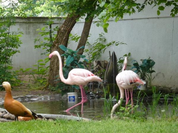Flamingos und Rostgans