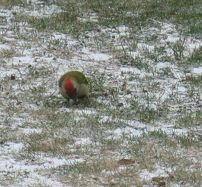 Grünspecht-Papagei
