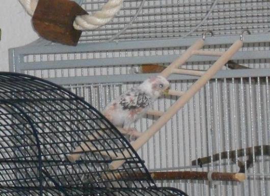 Wellensittichhenne mit PBFD klettert auf einer Leiter