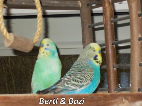Roaser Bertl und Bazi Wellensittichpaar KW 09 - 17