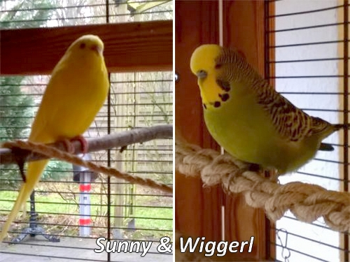 Roaser Sunny und Wiggerl Wellensittichpärchen KW 09 - 17
