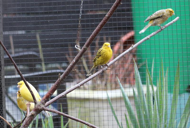 Silvia sieben Kanarienvögel KW 09 - 17