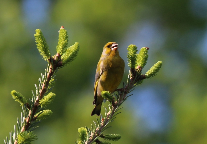 Ein singender Grünfink