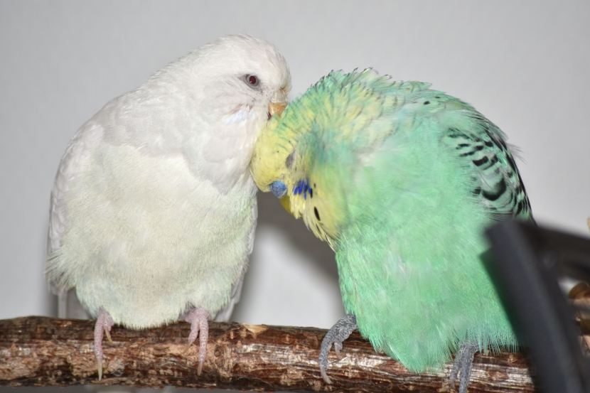 Henne Snow krault ihren Hahn