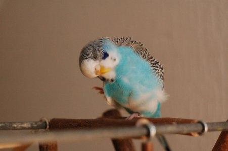 hellblaue Wellensittich-Henne kratzt den Kopf