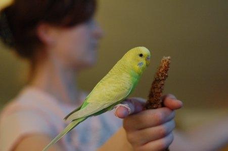 gelbgrüne Wellensittich-Henne sitzt auf Finger frisst Hirse