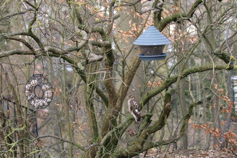 Sperber an der Futterstelle für Wildvögel