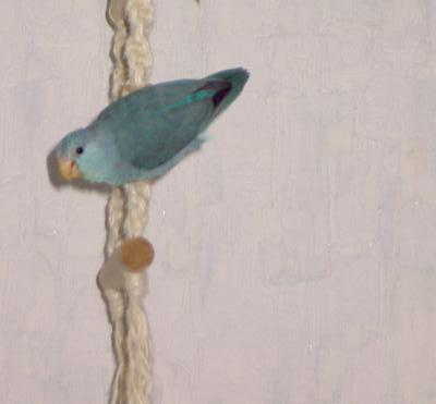 Sperlingspapagei Weibchen KW 21 - 17