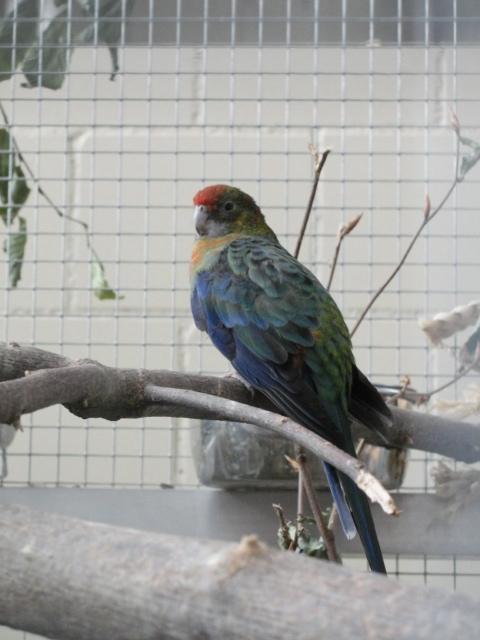 Stanley-Sittich auf Naturast in Vogelvoliere