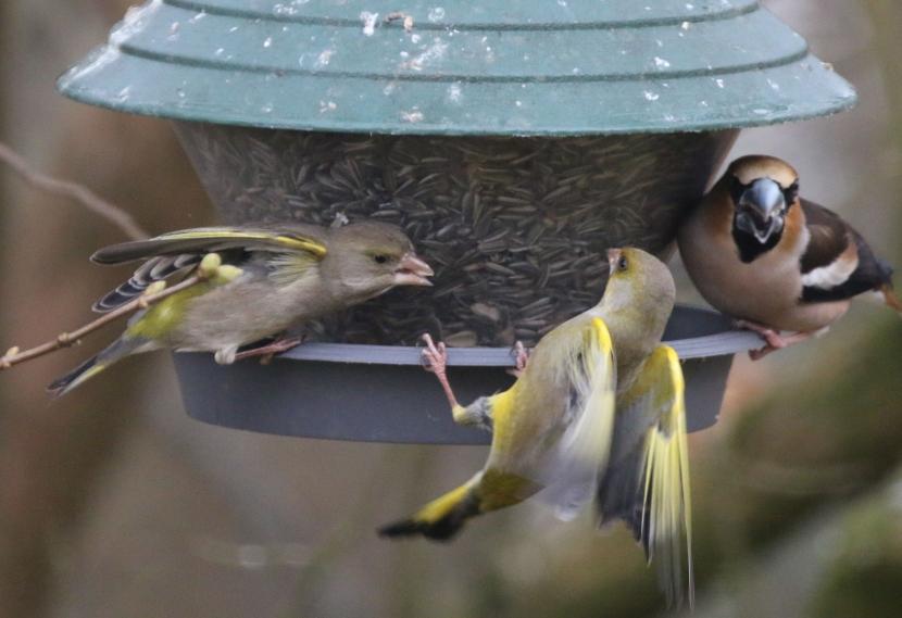 Streitende Grünfinken am Futtersilo