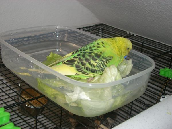 grüner Wellensittich badet in Schale